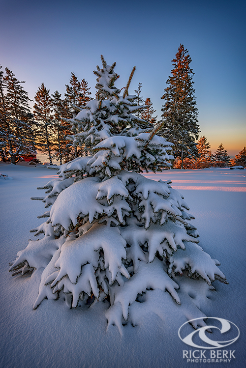 Evergreen Under a Blanket of Snow