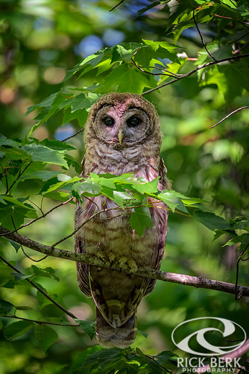 Young Barred Owl in Acadia