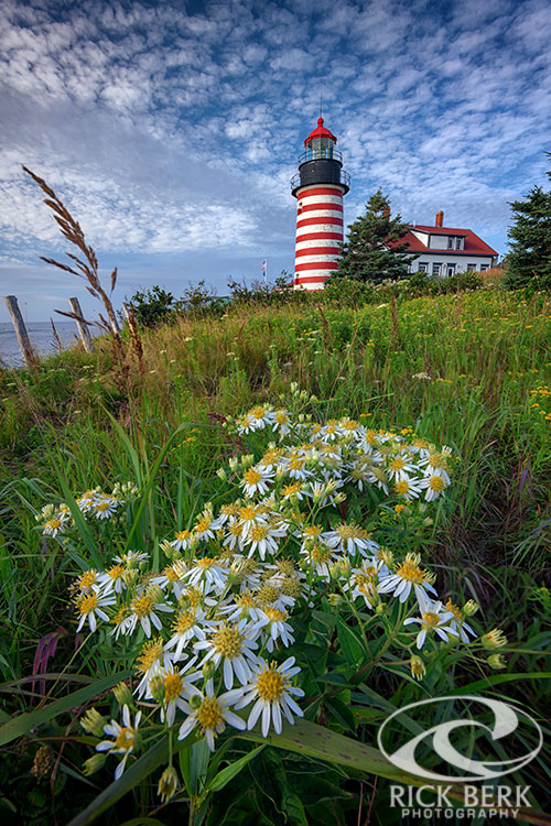 Tall White Asters at West Quoddy Head